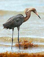 Reddish egret adult fishing at water's edge