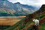 Dall Sheep on mountainside, Alaska