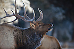 Bull elk bugling in late fall in Montana