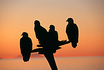 A silhouette of bald eagles perched on a tree in Homer, Alaska.