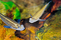 four-eyed fishes, largescale foureyes or striped foureyes, Anableps anableps, freshwater, tropical South America