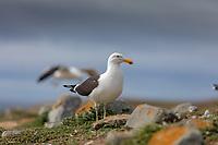 south America, Chile, Region de Magellanes y de la Antartica Chilena,Isla Magdalena, Magellanic gulls