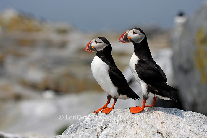 Two Puffins Standing Tall  #P22