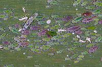 Mehlige Pflaumenblattlaus, Mehlige Pflaumen-Blattlaus, Hyalopterus pruni, Mealy Plum Aphid, rote und grüne Phasen, verschiedenen Altersgruppen auf Schilf