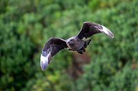 Brown Skua (Stercorarius antarcticus lonnbergi), Subantarctic subspecies, in flight on the Snares Island, New Zealand.