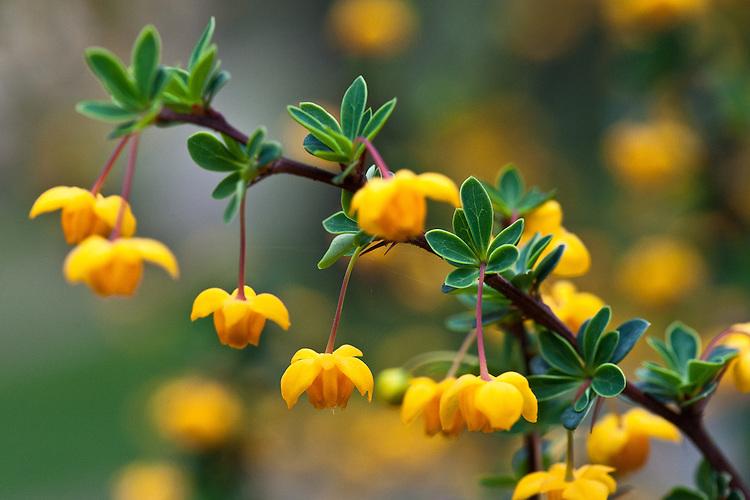 Yellow-orange flowers of Berberis buxifolia, late March.