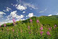 Fireweed in summer bloom near Hatcher Pass, Alaska