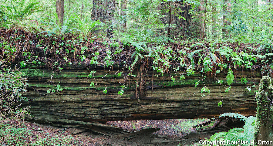 Giant Coastal Redwood Nurse Log, Humboldt Redwoods State Park, California along the famous Avenue of the Giants in Humboldt Redowoods State Park, California,near the Eel River.  Humboldt Redwoods State Park is along U.S. HIghway 101 north of San Francisco, California along the North Coast.