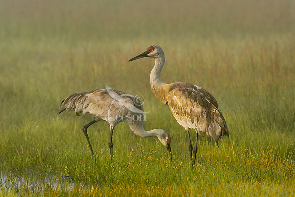 Sand Hill Crane pair feeding in morning fog.  Klamath Marsh National Wildlife Refuge, Oregon. May.