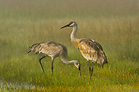 Sand Hill Crane pair feeding in morning fog.  Klamath Marsh National Wildlife Refuge, Oregon. May.
