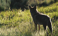 This coyote was hunting on a bright morning in the Lamar Valley.