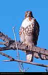 Red-tailed Hawk, Juvenile Light Morph, Bosque del Apache Wildlife Refuge, New Mexico