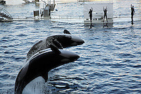 France. Alpes-Maritimes province.  Antibes. Marineland.  Killer whales show. Back jump of three killer whales. The largest tank in the world performing in 42,000 m3 of sea water, with a panoramic glass wall of 64 metres long. The killer whale (Orcinus orca), commonly referred to as the orca whale or orca, and less commonly as the blackfish, is a toothed whale belonging to the oceanic dolphin family. Killer whales are regarded as apex predators, lacking natural predators. Marineland is an animal exhibition park and receives more than a million visitors per year. 03.11.06 © 2006 Didier Ruef