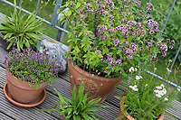 Wildkräuter in Töpfen, Topf, Blumentopf, Kübel, Oregano, Schafgarbe, Thymian, Spitz-Wegerich in Blumentöpfen auf einem Balkon,  flower pot, garden pottery, plant pot. Feld-Thymian, Feldthymian, Wilder Thymian, Thymian, Quendel, Feld-Sandthymian, Arznei-Thymian, Arzneithymian, Thymus pulegioides, Sammelart Thymus serpyllum, Wild Thyme, Sand Thyme, Thym serpolet, Breckland thyme, Breckland wild thyme, creeping thyme, elfin thyme, Le serpolet, thym serpolet. Wilder Dost, Echter Dost, Gemeiner Dost, Oreganum, Origanum vulgare, Oregano, Wild Marjoram, L'origan ou origan commun, marjolaine sauvage, marjolaine vivace. Gewöhnliche Schafgarbe, Wiesen-Schafgarbe, Schafgabe, Achillea millefolium, yarrow, Common Yarrow, Achillée millefeuille, la Millefeuille. Spitzwegerich, Wegerich, Plantago lanceolata, English Plantain, Ribwort, narrowleaf plantain, ribwort plantain, ribleaf, le Plantain lancéolé, Plantain étroit