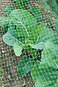 Netting protects these cauliflowers 'All The Year Round' from birds, butterflies, moths, and cabbage root fly, mid June.