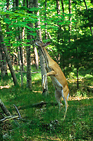 White-tail deer (Odocoileus virginianus) doe feeding on tree leaves.  Summer.  Upper Mid-west.