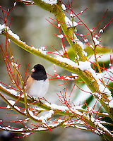 A male Dark-eyed Junco also called Oregon Junco (Junco hyemalis) is on snow covered branch of a red Coral Bark Japanese Maple (Acer palmatum 'Sangokaku') in Winter.