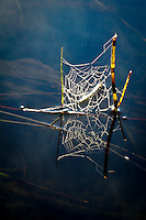 """""""Web Reflection""""<br /> <br /> The dew-adorned web of a long-jawed orbweaver spider (Tetragnatha species) casts a sparkling reflection on the river when kissed by the light of golden hour. North Kawishiwi River in Boundary Waters Canoe Area Wilderness (BWCAW)."""