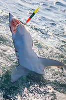 shortfin mako shark, Isurus oxyrinchus, hooked and released, Cape Point, South Africa, Atlantic Ocean