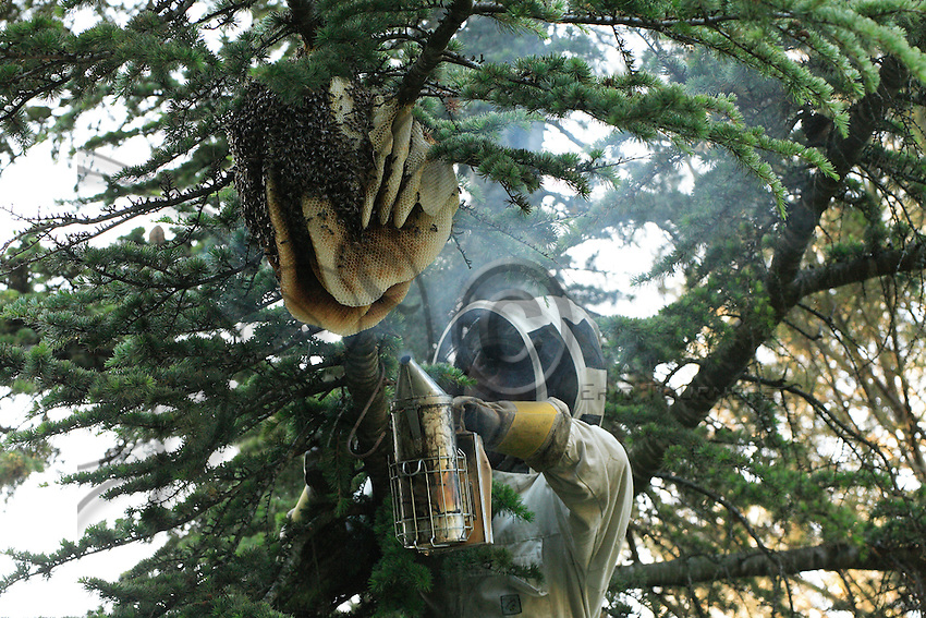 A swarm has settled on a pine tree near Nimes, France, and has started building combs. It was lucky to survive a mild winter. Located in a private garden, this swarm has grown into a full beehive.