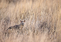 We scored two aardwolf sightings at Tswalu—my first—but they were brief and the long grass prevented clear views.