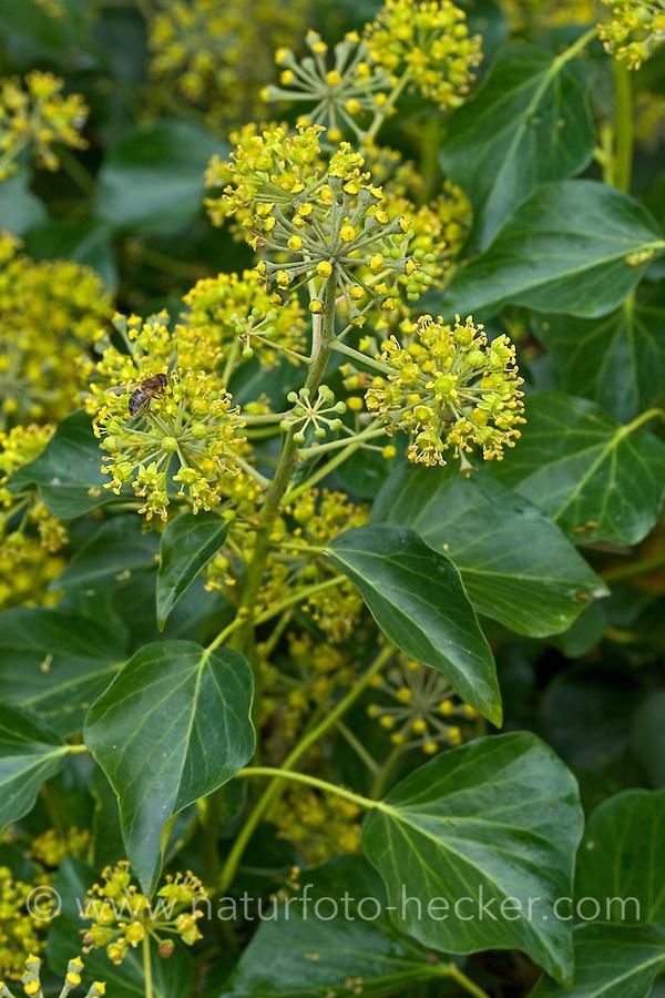 Efeu, Blüten, Hedera helix, Common Ivy, English Ivy, Lierre grimpant