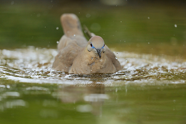 White-winged Dove (Zenaida asiatica), adult bathing, Hill Country, Texas, USA