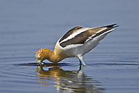 Water washes over the head of an American Avocet while it eating