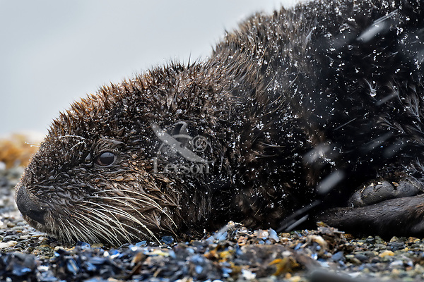 Young Sea Otter (Enhydra lutris) resting on old boat dock during light snow/sleet storm,  Prince William Sound, Alaska.  March.  This sea otter is about a year old.