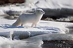 Arctic Fox, Arctic North America