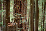 Spotted owl, owlet in old growth forest, Washington