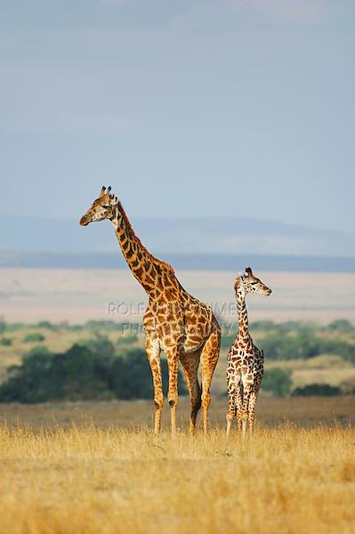 Masai Giraffe (Giraffa camelopardalis tippelskirchi), female with young, Masai Mara, Kenya, Africa