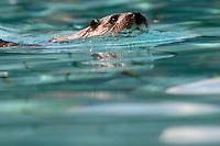 Otter ctre cigognes loutres hunawihr alsace france
