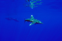 oceanic whitetip shark, Carcharhinus longimanus, and short-finned pilot whales, Globicephala macrorhynchus, Hawaii, Pacific Ocean