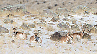 Pronghorns had mostly moved to the northern fringes of the park, where some of them remain during the winter.