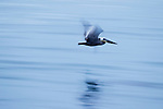 Brown Pelican (Pelecanus occidentalis) flying over water, Santa Cruz, Monterey Bay, California