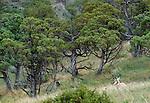 Pronghorn, Yellowstone National Park, Wyoming