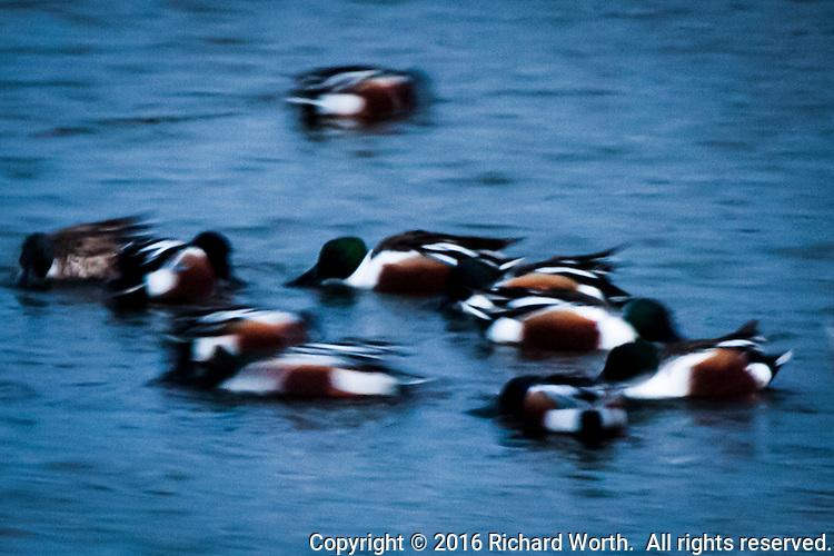 Multiple mallards in slow-shutter blur, feeding in a pond adjacent to San Francisco Bay, along the bay trail.