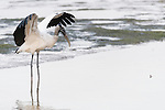 Ding Darling National Wildlife Refuge, Sanibel Island, Florida; a wood stork raises its wings to shield the sun from the water's surface so it can more easily see its prey