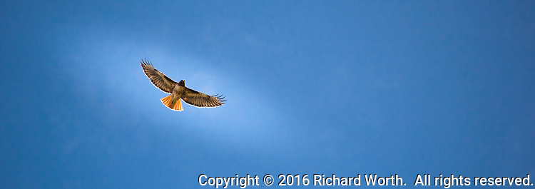 A Red-tailed hawk in flight with wings spread against a clear blue sky background cropped to 8.5X3 perspective.