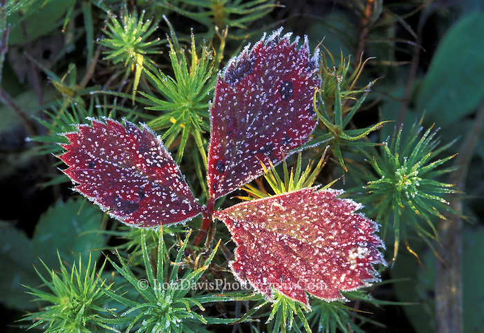 Frosted Wild Strawberry
