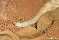 0511-1107  Neotropical Rattlesnake (South American Rattlesnake), Details of Rattler, Crotalus durissimus  © David Kuhn/Dwight Kuhn Photography