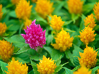 Yellow and red Celosia. Oregon