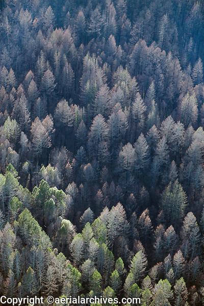 aerial photograph trees burned in the Napa wildfires near Calistoga, Napa County, California