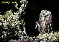 OW02-042z  Saw-whet owl - sitting on branch - Aegolius acadicus