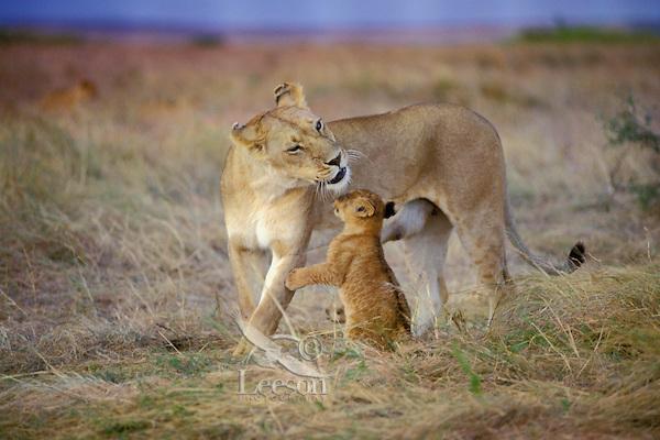 African Lion (Panthera leo) lioness with cub.  Masai Mara National Reserve, Kenya.