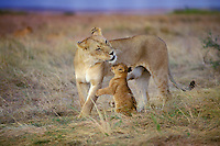 African Lion (Panthera leo) lioness with cub.  Masai Mara National Reserve, Kenya.