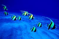 The Moorish Idol(Zanclus cornutus) is one of Hawaii's beautiful reef fishes. Hawaiian name is Kihikihi.