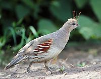 Adult female Gambel's quail, bad hair day.