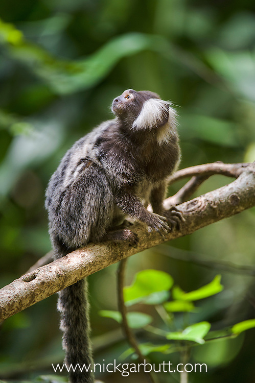 Common or Cotton-eared Marmoset (Callithrix jacchus jacchus) from Amazonia rainforest regions, South America. Photographed in captivity at Singapore Zoo.